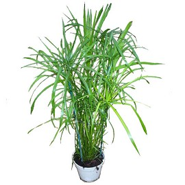Plantes adaptées aux terrariums tropicaux humides Papyru10