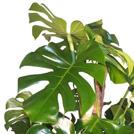 Plantes adaptées aux terrariums tropicaux humides Philod10