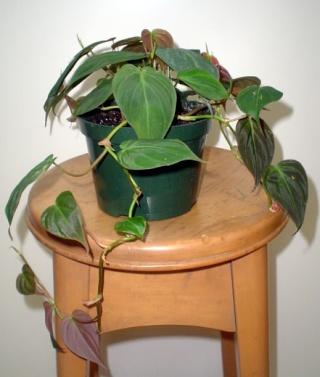Plantes adaptées aux terrariums tropicaux humides Philod11