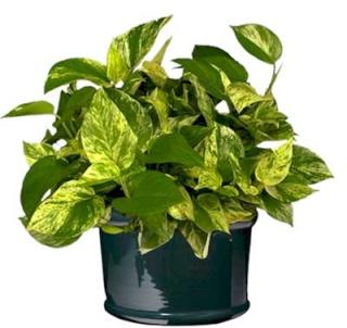 Plantes adaptées aux terrariums tropicaux humides Pothos10
