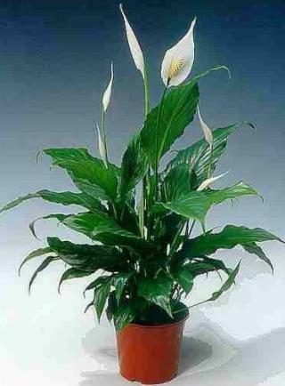 Plantes adaptées aux terrariums tropicaux humides Spathi10