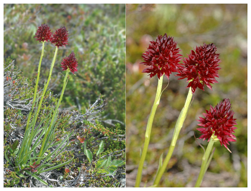 Gymnadenia ( Nigritella ) rhellicani ( N. de Rellikon ) Dsc_0010