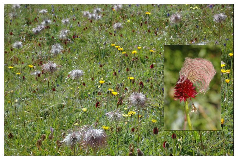 Gymnadenia ( Nigritella ) rhellicani ( N. de Rellikon ) Dsc_0110
