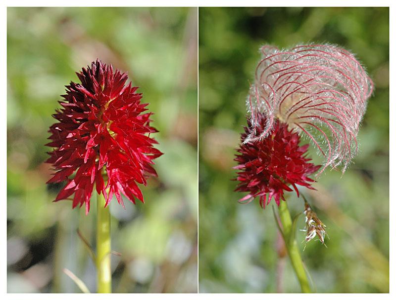 Gymnadenia ( Nigritella ) rhellicani ( N. de Rellikon ) Dsc_0210