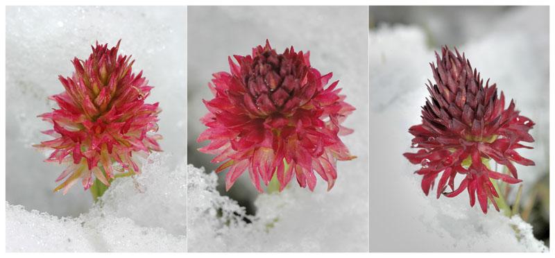 Gymnadenia ( Nigritella ) rhellicani ( N. de Rellikon ) Dsc_0211