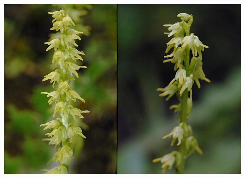 Herminium monorchis ( Orchis musc ) Dsc_0410
