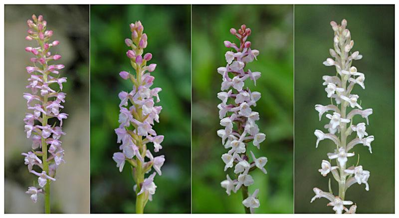 Gymnadenia odoratissima ( Orchis odorant ) Dsc_0411