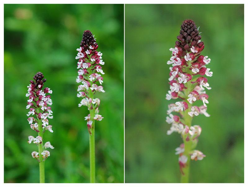 Neotinea ustulata subsp . aestivalis ( Orchis brûlé d'été ) Jlr_6811