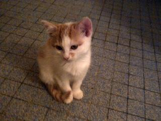 4 chatons 2mois et demi - recherche adoptants, FA ou ASSO Image210