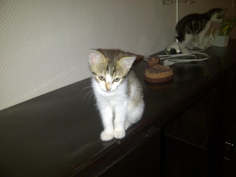 4 chatons 2mois et demi - recherche adoptants, FA ou ASSO Image310