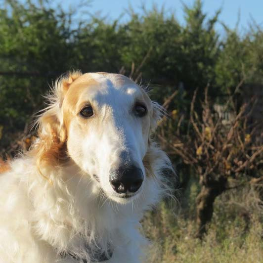 "Chopin barzoi à l'adoption ""sans collier provence"" Chopin10"