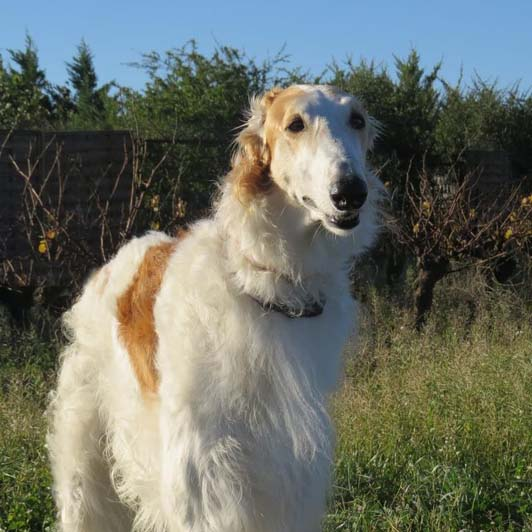 "Chopin barzoi à l'adoption ""sans collier provence"" Chopin13"