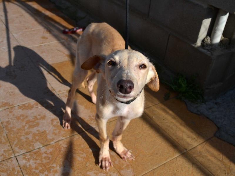"Daisy chiot galga à l'adoption ""Scooby France""  Adoptée  Daisy_11"