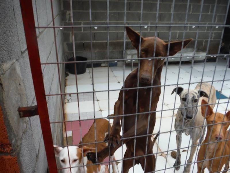 Léon tendre et doux podenco à l'adoption Scooby France Adopté  Lyon_p10