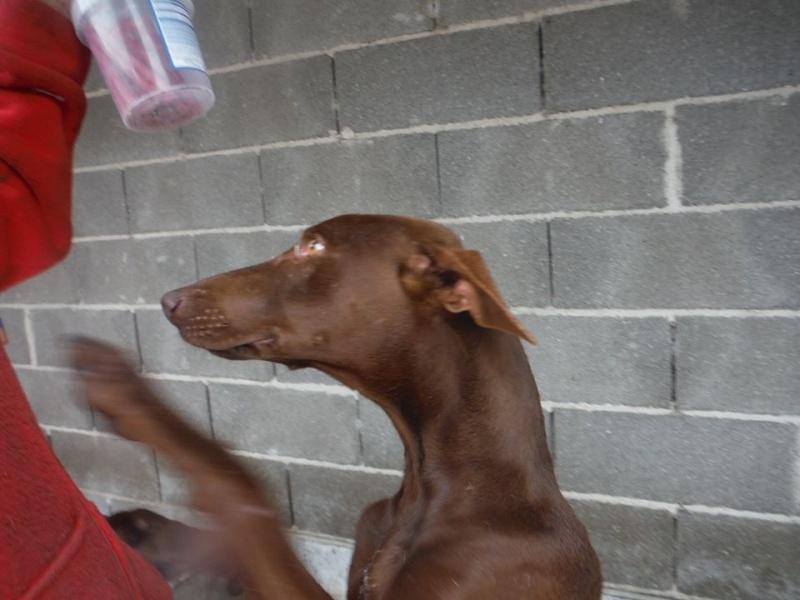 Léon tendre et doux podenco à l'adoption Scooby France Adopté  Lyon_p11