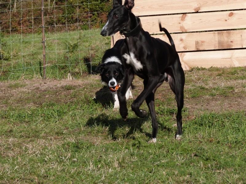 Tibu galguito à l'adoption d'une grande beauté Adopté !Scooby France  - Page 3 Tibu_a14