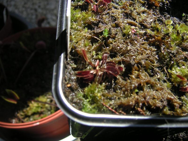 Vente de cultivars de dionaea Pict0711