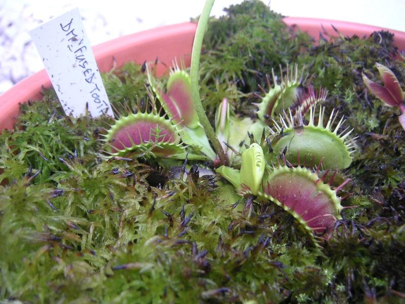 Dionaea Muscipula 'Fused tooth'  Pict0714