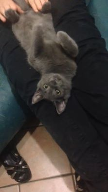 Bébé Mulot, 4 mois, chat M adorable petite souris Mulot_10