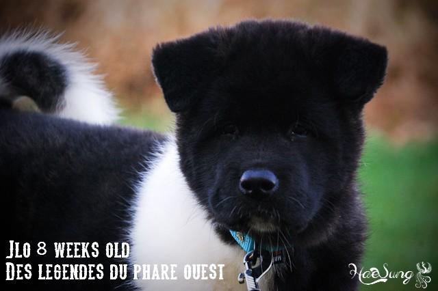 Des BB akitas américains attendus chez les Légendes du Phare Ouest - Page 2 Dsc_0010