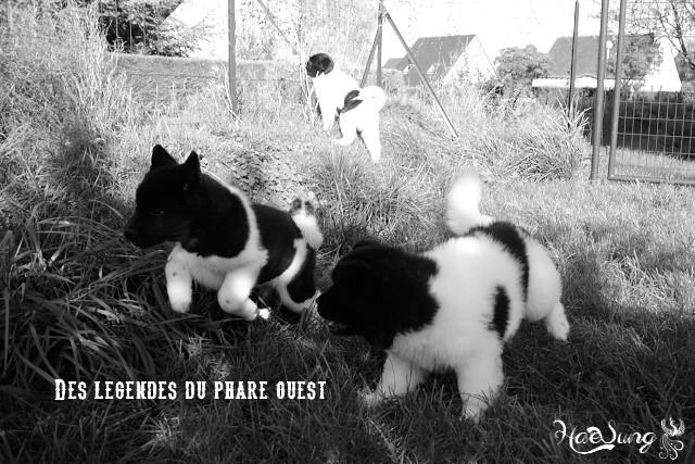 Des BB akitas américains attendus chez les Légendes du Phare Ouest - Page 2 Dsc_0214