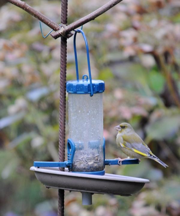 Oiseaux du jardin (mangeoires) 08_12_11