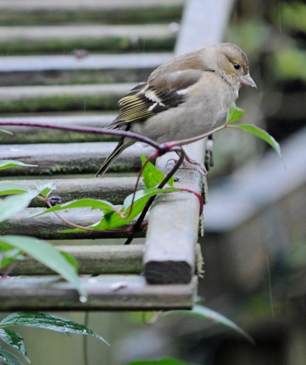 Oiseaux du jardin (mangeoires) 08_12_12