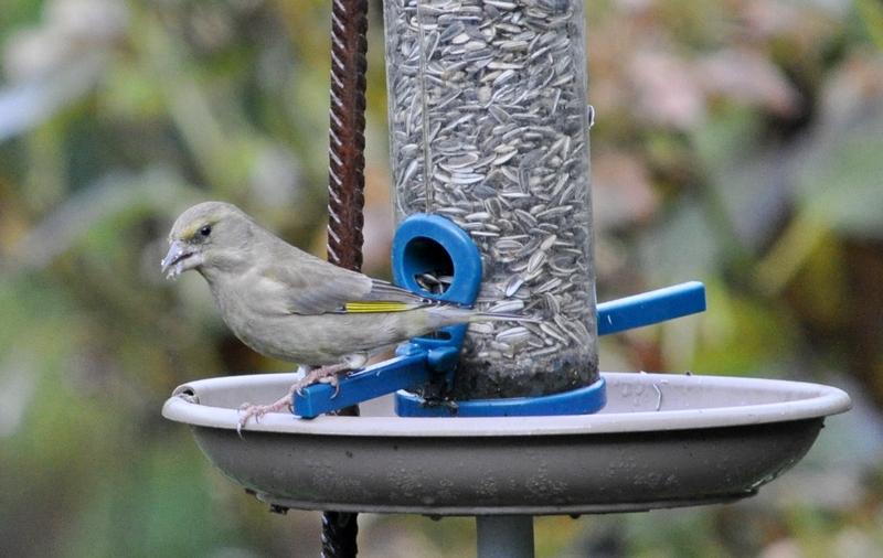 Oiseaux du jardin (mangeoires) 09_12_10