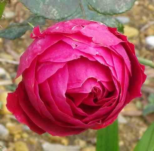 Rosa 'Mr Lincoln' !!! 05122015