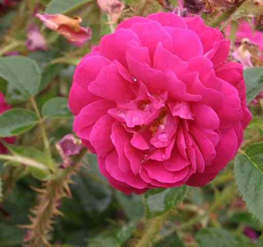 Rosa  'Henri Martin' Henri_10