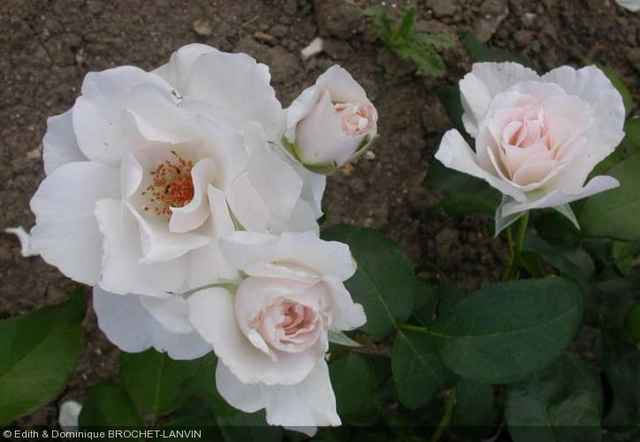Rosa 'Maria Mathilda' Rosa_m10
