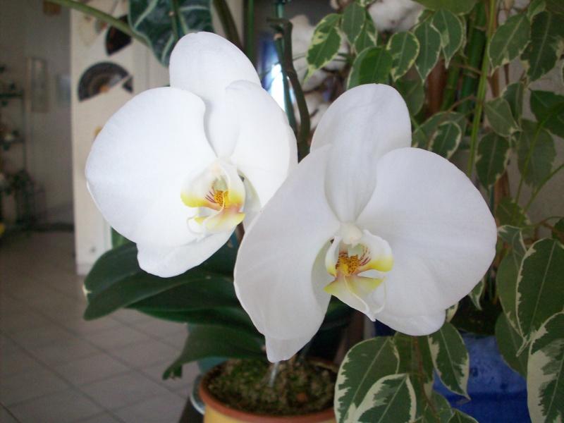 [Photos] Vos Phalaenopsis Phaleo10