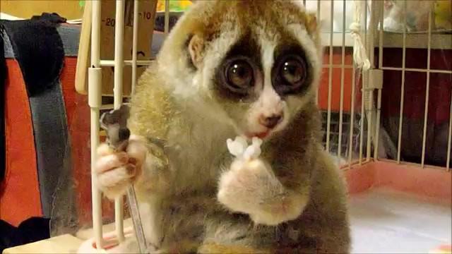 [Jeu] Association d'images - Page 2 Lemuri10