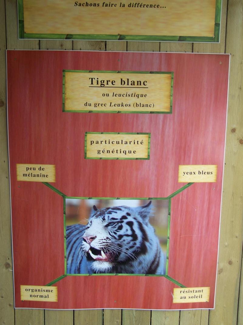 Différence entre tigres blancs et tigres albinos Amnevi10