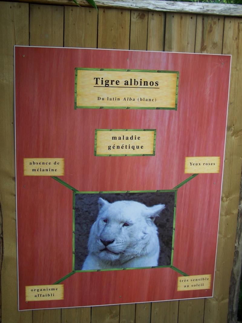 Différence entre tigres blancs et tigres albinos Amnevi11