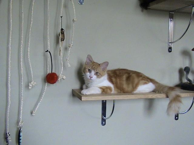 DOUAI 59 Trouvé chaton roux et blanc Arbrea15