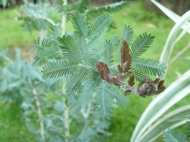 Acacia baileyana 'Purpurea' Acacia10