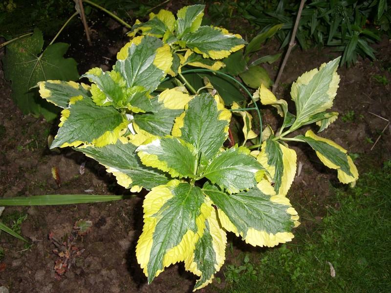 Quiz panaché! ( Hydrangea macrophylla 'Pirate's Gold' ) Triche10