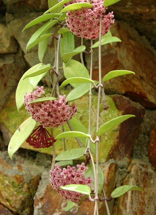 Mum çiçeği 02030710
