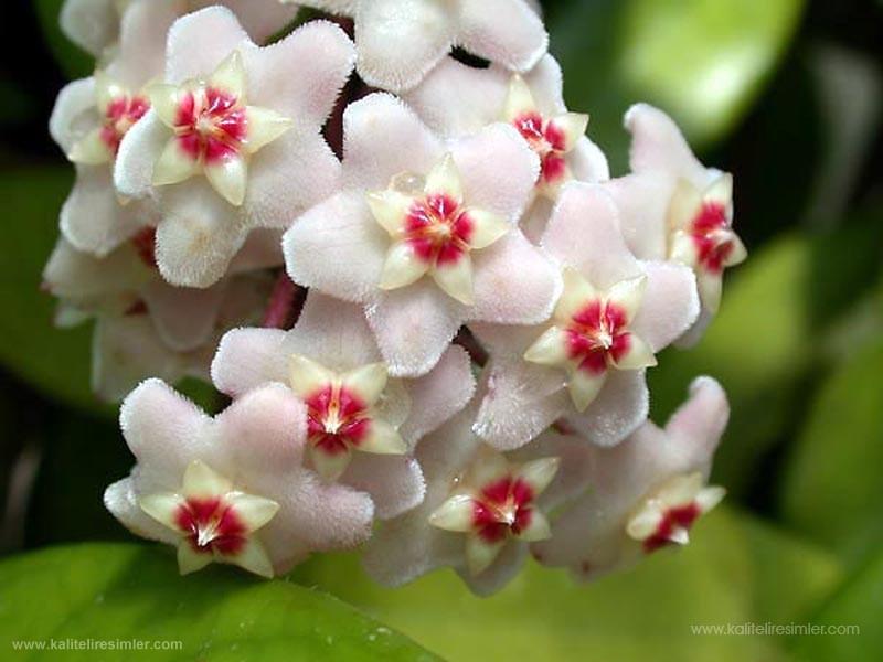 Mum çiçeği Mum_ci10
