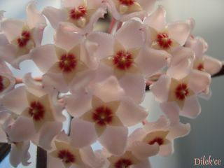 Mum çiçeği Mumcic10