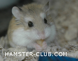 Foro gratis : A Great Forum For Hamster & Guinea P - Welcome! Hamste10