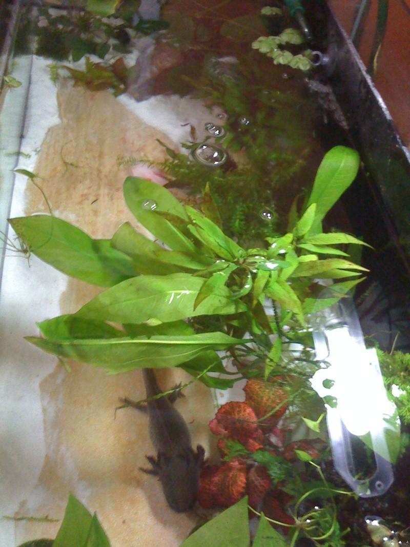 Cohabitation Axolotl 07210