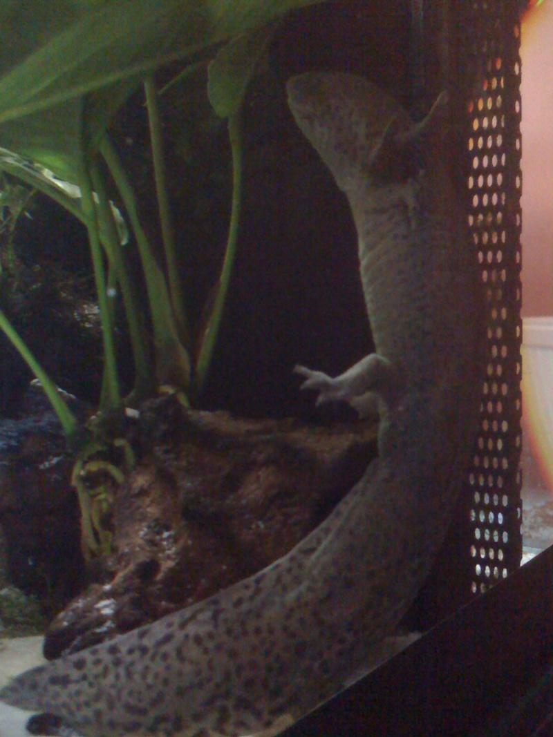 Cohabitation Axolotl 07610