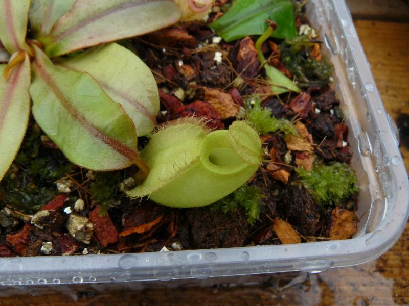 Heliamphora Heterodoxa et Ampullaria Green. P1020813