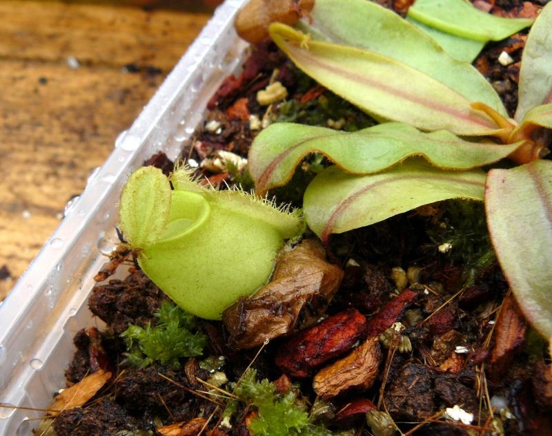 Heliamphora Heterodoxa et Ampullaria Green. P1020814