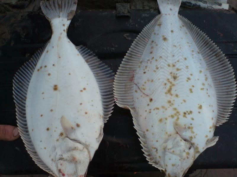 Plaice or Flounder ID Plaice10