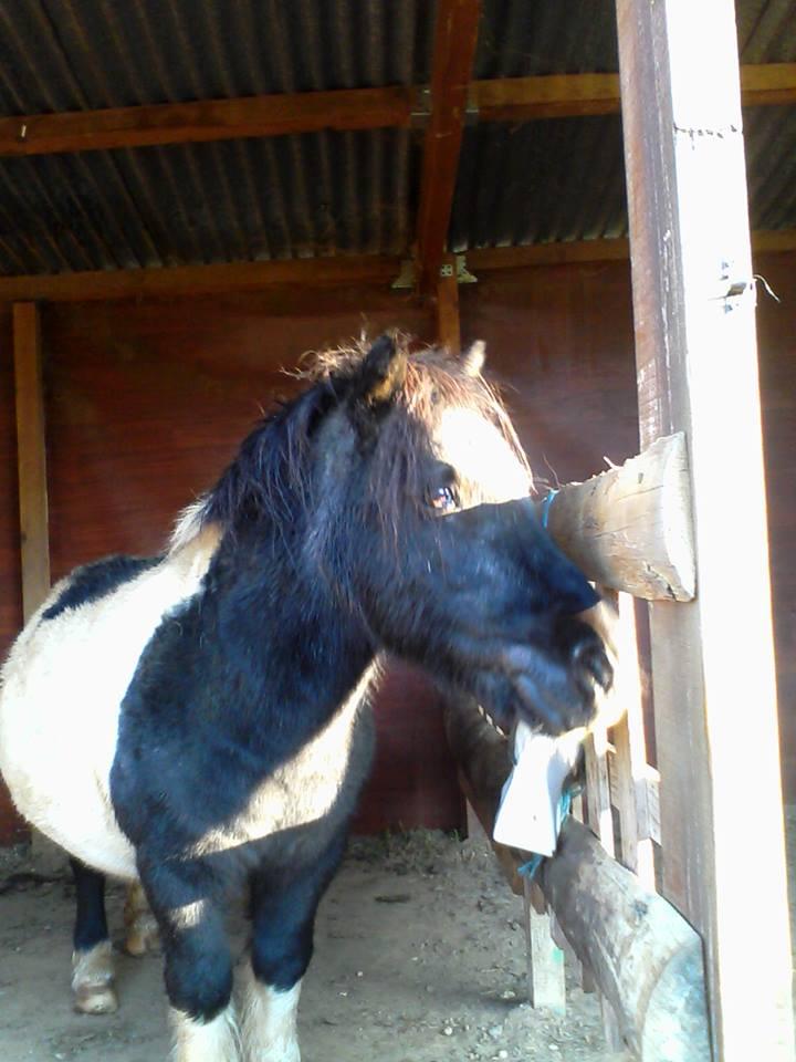 TANGO - OI Poney typé Shetland né en 1985 - adopté en juillet 2009  U310