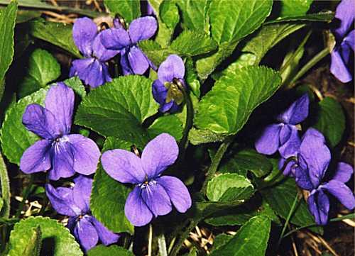Petit quizz des plantes - Page 5 Violet10