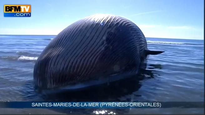 Une baleine s'échoue non loin des Stes-Maries. Clichy14